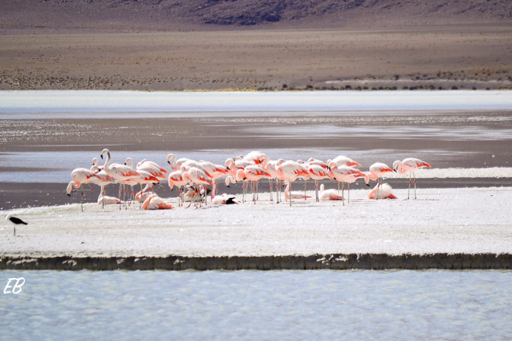Flamingos at Bolivian High Plains
