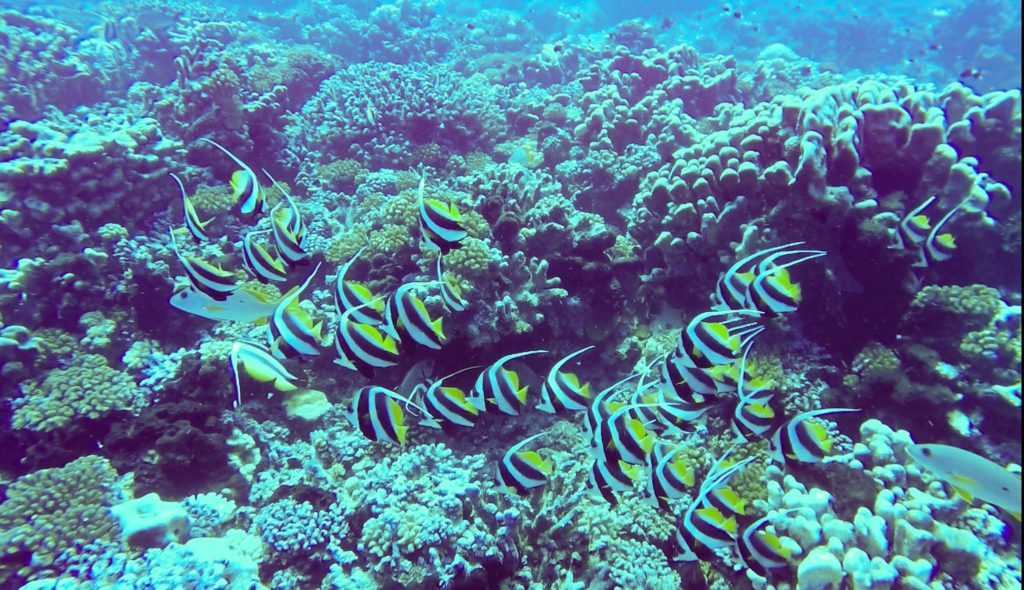 School of fish as seen when scuba diving at Fakarava North Pass