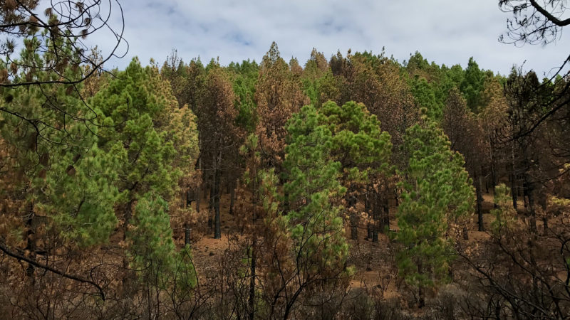 Hiking Volcano Route in La Palma Pine Trees