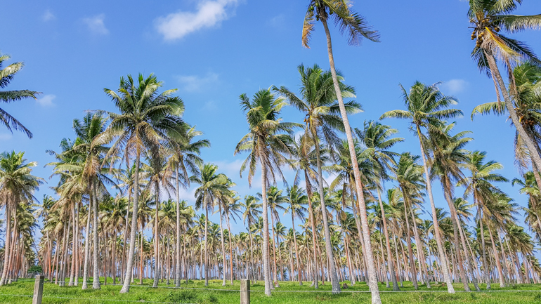 Palm Tree Plantations in Efate Island