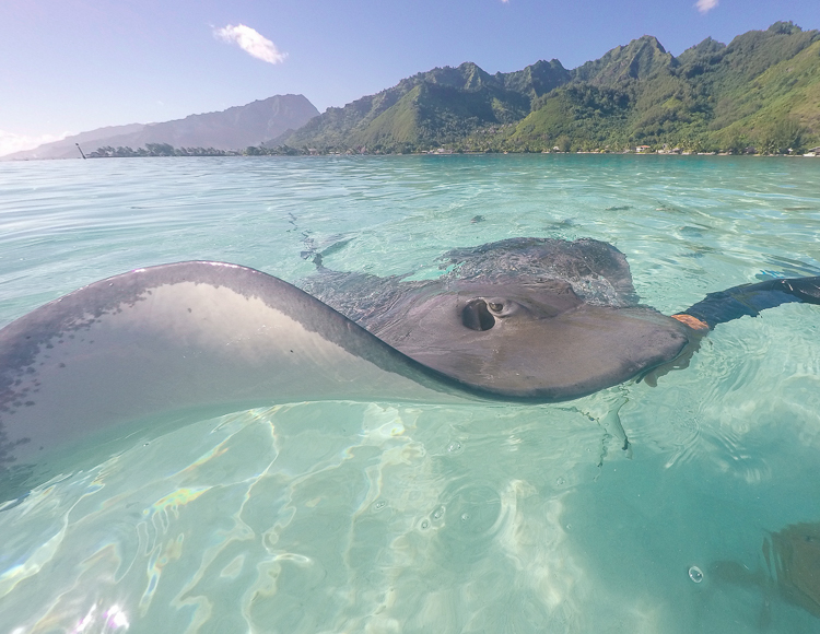 Moorea Swimming with Stingrays